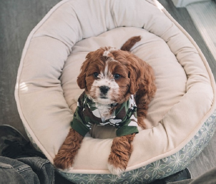 cute-brown-dog-in-cozy-bed