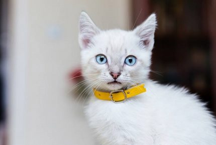Kitten Collar: Keep Your Feline Safe and Sound